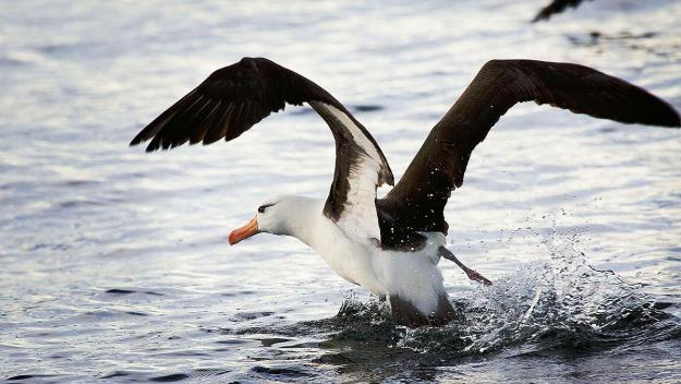 1200px-Black-browed_Albatross,_Beagle_Channel